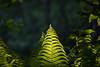 Fern (Jontsu) Tags: fern saniainen luonto suomi finland nature sunset nikon d7200 sigma 105mm macro
