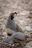 Gambel's Quail (jimmy_racoon) Tags: canon 400mm f56l 5d mk2 gambels quail arizona birds desert nature prime canon400mmf56l canon5dmk2 gambelsquail