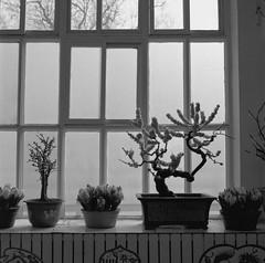 Indoor plant - film Hasselblad (Photo Alan) Tags: blackwhite blackandwhite film filmcamera filmscan film120 kodakpxp220 backlight hasselblad hasselblad503cw carlzeiss carlzeissplanar80mmf28 beijing china