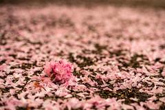 And then... (_Matt_T_) Tags: smcpda55mmf14sdm sakura fallen litter cherry petals blossoms niagaraonthelake ontario canada ca