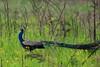 Peacock (!! Michael Francis !!) Tags: peacock manasnationalpark pavocristatus birdsofindia