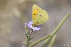 Greedy (Thijs de Bruin) Tags: madeira vlinder butterfly cloudedyellow luzernevlinder macro geel schmetterling farfalla inexplore