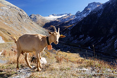 Goat on the Route (My Planet Experience) Tags: bonnevalsurarc goat sheep col iseran pass coldeliseran mountain snow blue sky automn color route grandes alpes routedesgrandesalpes road alps alpine savoie hautesavoie landscape france fr myplanetexperience wwwmyplanetexperiencecom