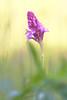 Anacamptis pyramidalis (AIIex) Tags: orchidea wildorchid orchid nature flower nikon macro sigma fiore darktable