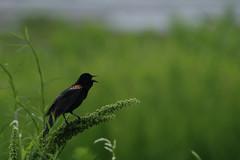 Red-winged blackbird (Bird-guy) Tags: red winged blackbird lake peachtree city georgia