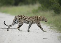 African Leopard, Panthera pardus pardus, Hwange National Park, Zimbabwe7FB (Jeremy Smith Photography) Tags: leopard africanleopard zimbabwe jeremysmith hwangenationalpark zimbabwesafari birdingsafarizimbabwe jeremysmithphotography pantherapardus