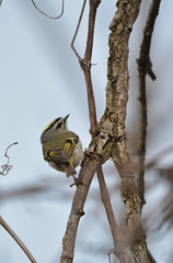 Golden-crowned Kinglet (Chad Horwedel) Tags: goldencrownedkinglet bird tree dupagerivergreenway bolingbrook illinois