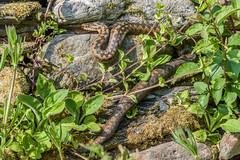 Female Adder view 1 (Matchman Devon) Tags: adder viper berus ayrmer cove ringmore south hams devon