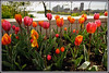 d (39) (Martin Stringer) Tags: ottawa ontario beauty flowers floral tulips tulipfestival scenics landscapes