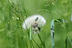 Sunbathing on a dandelion (jeangrgoire_marin) Tags: insect spring green tiny shiny oedemera closeup flower dandelion petitesbebêtes sunny