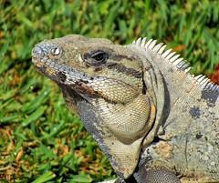 Green Iguana with Blue Lips (Darts5) Tags: greeniguana iguana reptile animal nature sx50 upclose closeup canon canonsx50