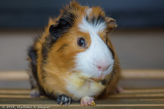 2018-05-24-21-17-34-D72_9752 (tsup_tuck) Tags: 2018 guineapigs may moscow pets spring
