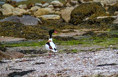 Shelduck (Eddie the Eagle-eye) Tags: birds wildlife clyde cumbrae coast islands sea shore wildfowl