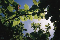 Lunchtime leaves (knautia) Tags: lunchhour lunchtime leaves bristol england uk may 2018 film ishootfilm olympus xa2 fuji superia 400iso olympusxa2 nxa2roll14 tree