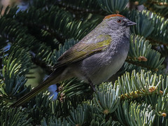 Green-tailed Towhee, Pipilo chlorurus (bruce_aird) Tags: