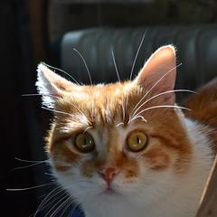 DSC_1613 (Luniul) Tags: cat redcat animal light pet