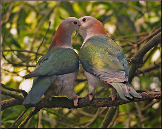 Green imperial pigeons in love