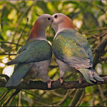 Green imperial pigeons in love thumbnail