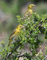 Lesser Masked-Weaver (Ploceus intermedius)_DSC2685-editCC (Dave Krueper) Tags: africa southafrica birds birding bird weaver