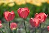 Pink tulips - Helios 44-2 (mechanicalArts) Tags: helios 442 44
