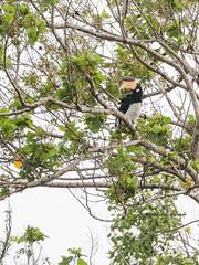 Malabar pied hornbill (Anthracoceros coronatus) (Arturo Nahum) Tags: wildflife wild nature naturaleza naturephotography srilanka yalanationalpark arturonahum malabarpiedhornbill anthracoceroscoronatus