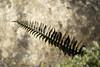 Fern_0887 (Mike Head - Jetwashphotos) Tags: fern plant spring earlyspring bc britishcolumbia canada westerncanada westernregion