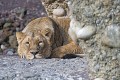 Lying and looking bored (Tambako the Jaguar) Tags: lion big wild cat lioness female lying flat resting bored portrait stone rocks zürich zoo switzerland nikon d5