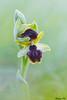 IMG_6970 Vexin - Ophrys araignée - Ophrys sphegodes (fabianvol) Tags: france francia macro prairie grassland pastizal plante plant planta fleur flower flor orchidaceae orchidée orchid orquídea orquidácea