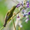 Olive-backed sunbird looking for nectar in water canna flowers (Robert-Ang) Tags: sunbird olivebackedsunbird nature wildlife animal animalplanet jurongecogarden singapore