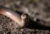 Blindworm (Markus Hill) Tags: hainburganderdonau niederösterreich österreich at blindschleiche blindworm macro makro reptile reptil echse animal nature spring canon 2018 tier