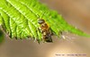 The Green Eyed Monster.... (law_keven) Tags: bees bee catford london england photography macrophotography