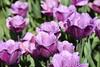 Purple tulips with jagged edges, Noordwijkerhout, May 6, 2018 (cklx) Tags: tulips bollenstreek spring holland 2018 tulpen kleurrijk rood geel wit roze pink purple orange red yellow noordwijkerhout