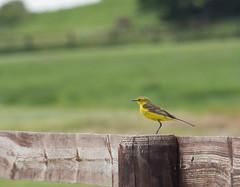 Bergeronnette Printanière (merlaudp) Tags: oiseaux birds normandie nature mont st michel