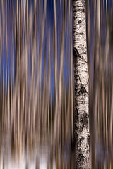 One Tree in a Forest (pixquik) Tags: birch birchgrove trees tree forest traversecity traversecitymichigan
