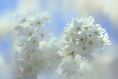 White Cherry Blossoms (lfeng1014) Tags: whitecherryblossoms kariyapark mississauga ontario canada cherryblossoms flower flowermacro macro macrophotography canon5dmarkiii 70200mmf28lisii closeup bokeh spring flowers whiteflower springblossoms light softness lifeng