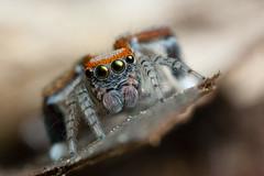 **Juste toi et moi** (AquaNat-photo) Tags: salticidae jumpingspider france fr mpe mpe65mm araignéesauteuse spider lovespider arachnid saitis barbipes