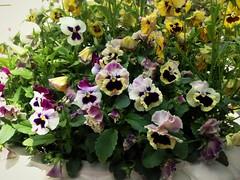 Pansies (Anna Gelashvili) Tags: pansies flower цветочки garden сад цветок flowers анютиныглазки plant soil почва ყვავილი ყვავილები იასამნისფერიყვავილი