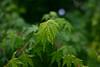 もみじ0513 (reminep) Tags: 葉 leaf 紅葉 緑 green nature もみじ maple