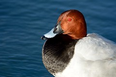 Red (.Guillermo.) Tags: pato patos duck ducks animal nature naturaleza agua water