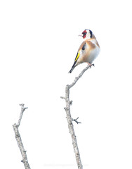 Goldfinch (Daniel James Greenwood) Tags: southdownsnationalpark southdowns danielgreenwood danielgreenwoodphotography