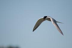 Sterne pierregarin (Sterna hirundo) (eric.benetti) Tags: ariège domainedesoiseaux mazères oiseau sternahirundo sterne sternepierregarin sternidae sternidés