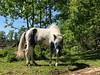 Huvan hittad… (Patrick Strandberg) Tags: sweden östergötland bergagård freyda freydafrånblixtorp icelandichorse islandshäst horse häst iphone iphonex