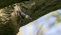 Nuthatch-3932 (WendyCoops224) Tags: 100400mml 80d canon eos localbirdswildlife springwatch ©wendycooper nuthatch