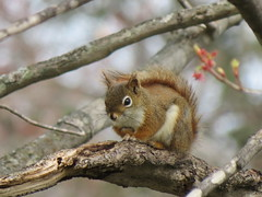 IMG_5074 Big Eye squirrel (jgagnon63@yahoo.com) Tags: may deltacountymi bramptontownship wildlife wildanimals