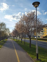 Spring in city (Iggy Y) Tags: city spring blossom tree flower white color flowers nature plant street building sky blue cloud clouds lamp