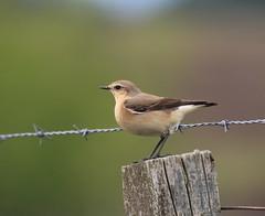 Female Northern Wheatear (themadbirdlady) Tags: northernwheatear passeriformes muscicapidae oenantheoenanthe headdykesnn8304