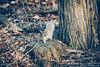 Squirrel ! (deathtiny42) Tags: canon100mmf28lmacro manhattan america animal bapbknyc2018 canon5dmkii centralpark cute fourrure fur nature newyork newyorkcity nyc parc park rodent rongeur sauvage squirrel unitedstates usa wild wood écureuil étatsunis