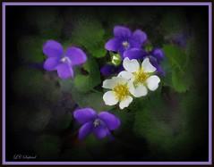 Violets and strawberry blossoms (edenseekr) Tags: spring springtime wildflowers purple violets white strawberry blossoms photopainting handpainted corelpainter