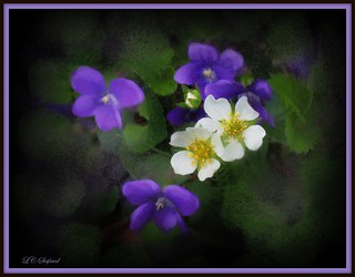 Violets and strawberry blossoms