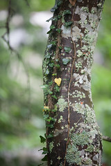 I ❤ the forest (Kathy Froilan | wandering.in.the.woods) Tags: tree wood heart ivy trunk vine lichen leaf leaves woods love peace beauty